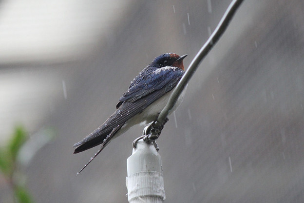 写真: 雨に濡れて