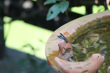 水を飲みに来たハチ
