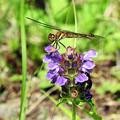 写真: トンボと紫の花