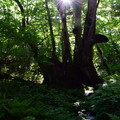 写真: 和池の大カツラ