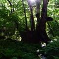 Photos: 和池の大カツラ