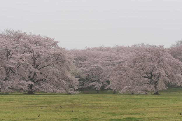 昭和記念公園【桜の園の眺め】2