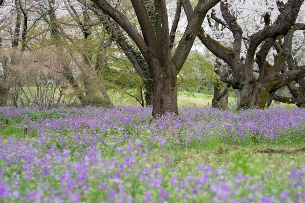 昭和記念公園【桜の園の紫花菜】1