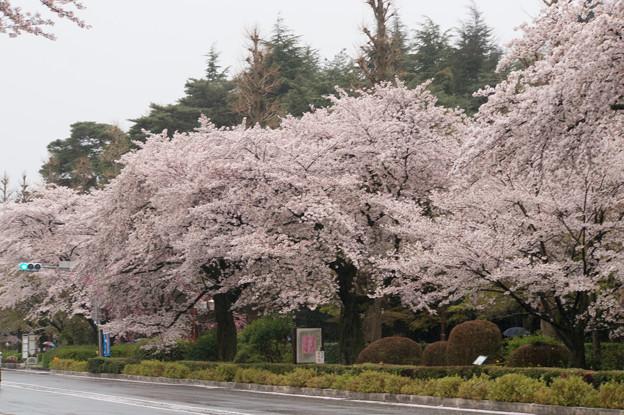 【国立の桜並木】3