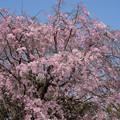 【テリタビーズ公園の枝垂れ桜】2