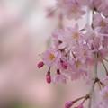 【テリタビーズ公園の枝垂れ桜】4