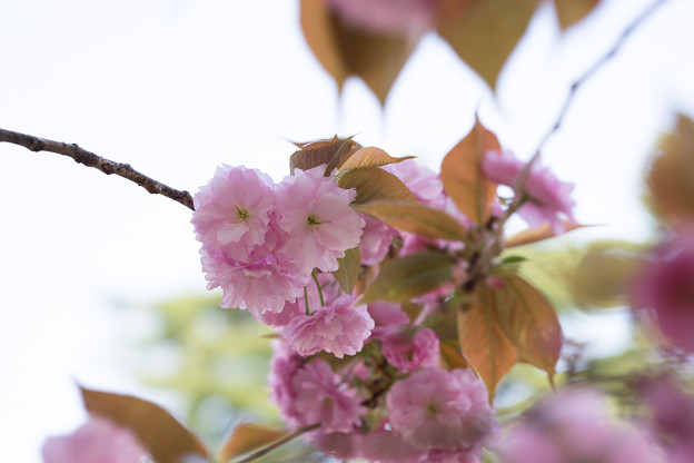 新宿御苑【桜:関山】4