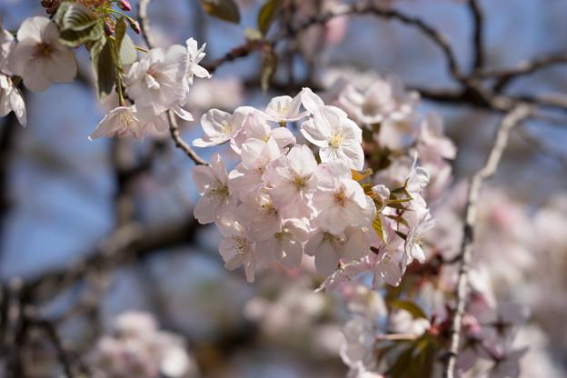 新宿御苑【桜:嵐山】2