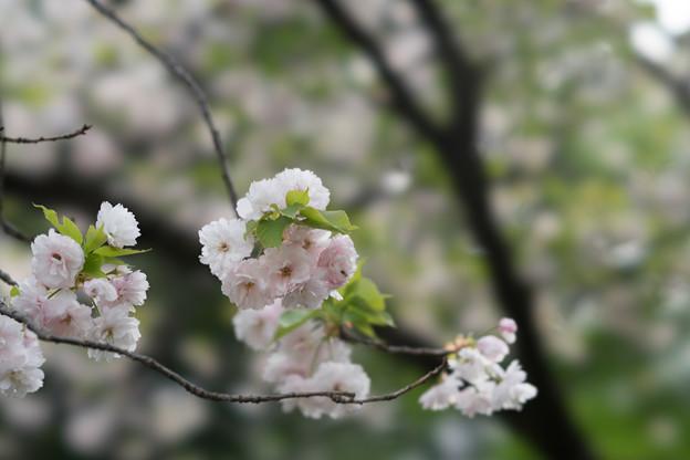 新宿御苑【桜:一葉】6