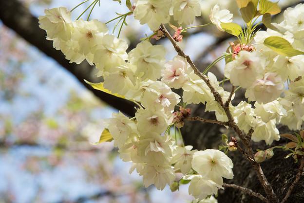新宿御苑【桜:鬱金】3