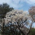 Photos: 新宿御苑【桜:白雪】1