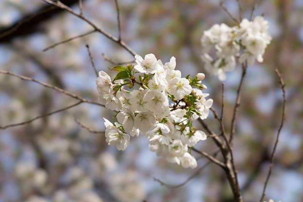 新宿御苑【桜:白雪】3