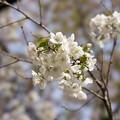 Photos: 新宿御苑【桜:白雪】3