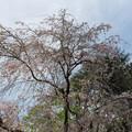 Photos: 新宿御苑【桜:八重紅枝垂】2