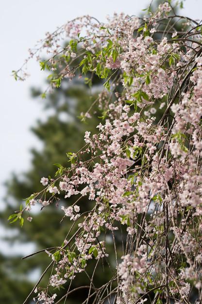 新宿御苑【桜:八重紅枝垂】3