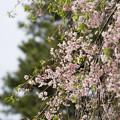 Photos: 新宿御苑【桜:八重紅枝垂】3