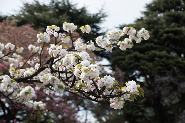 新宿御苑【桜:市原虎の尾】2