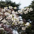 Photos: 新宿御苑【桜:市原虎の尾】2