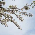 Photos: 新宿御苑【桜:市原虎の尾】3