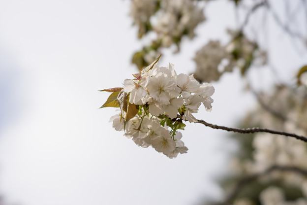 新宿御苑【桜:太白】1