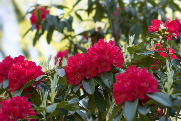 神代植物公園【石楠花:ネリアーブ】2