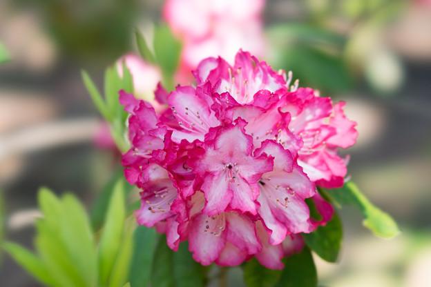 神代植物公園【石楠花:ミセス・ルーズベルト】2