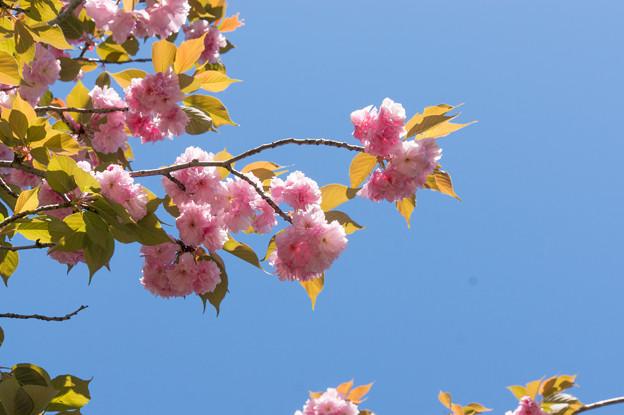 神代植物公園【桜:関山】1