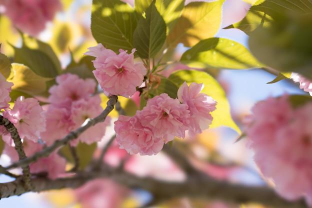 神代植物公園【桜:関山】4