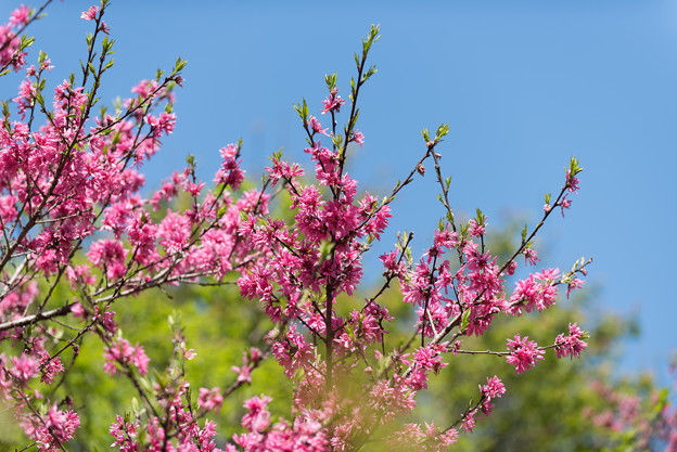 神代植物公園【ハナモモ菊桃】1