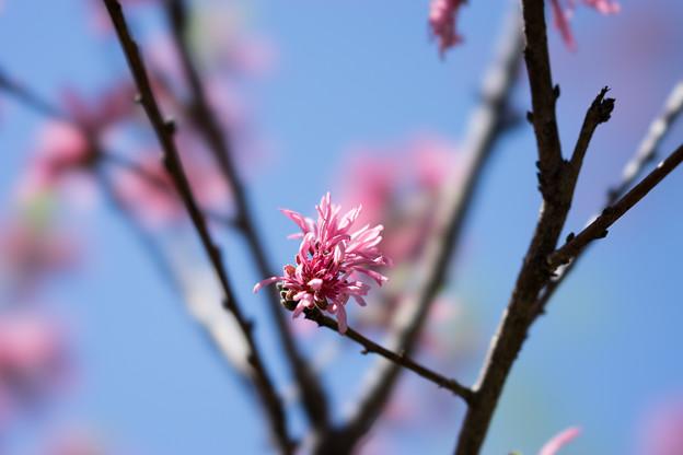 神代植物公園【ハナモモ菊桃】4