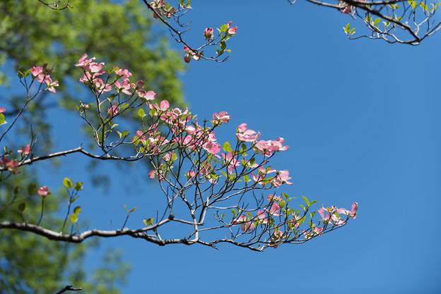 神代植物公園【ハナミズキ】3