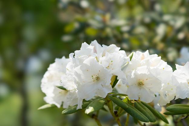大船植物園【石楠花:平野白】