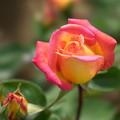Photos: 神代植物公園【薔薇:つる・グランメール・ジェニー】