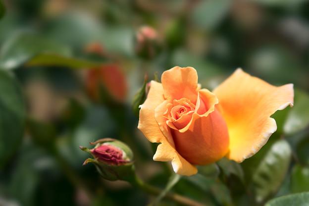 神代植物公園【薔薇:ロイヤル・サンセット】