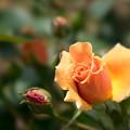 Photos: 神代植物公園【薔薇:ロイヤル・サンセット】