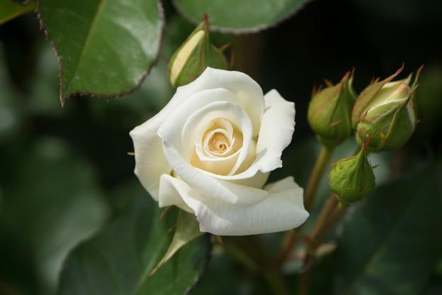 神代植物公園【薔薇:銀世界】
