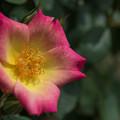 Photos: 神代植物公園【薔薇:ロング・アイランド】