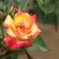 神代植物公園【薔薇:ミラベラ】