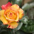 神代植物公園【薔薇:チャールストン】