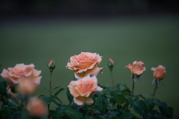 生田緑地ばら苑【薔薇:クローダマグレディ】2