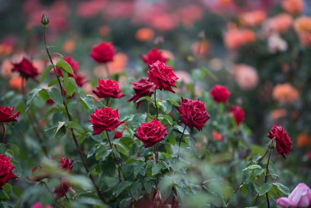 生田緑地ばら苑【薔薇:熱情】2