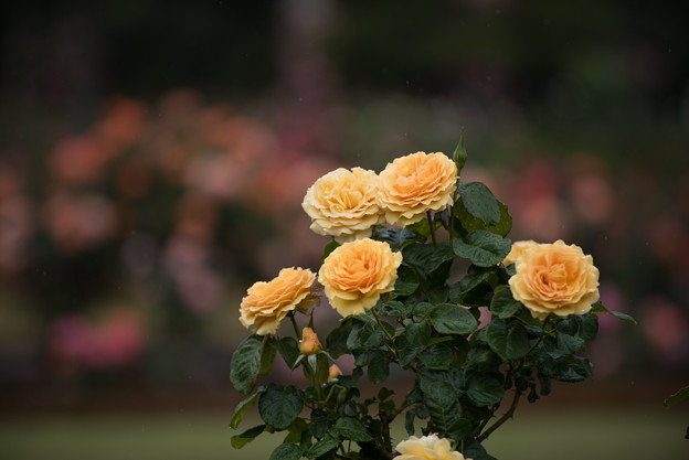 生田緑地ばら苑【薔薇:アンバークイーン】1