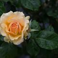 生田緑地ばら苑【薔薇:アンバークイーン】3