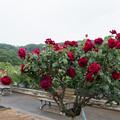生田緑地ばら苑【薔薇:パパ・メイアン】1