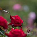 Photos: 花菜ガーデン【薔薇:マイレイコ】1