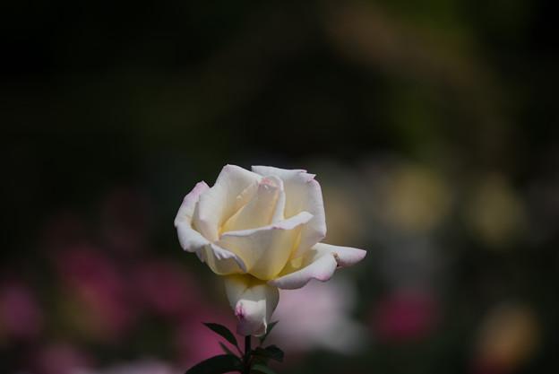 花菜ガーデン【薔薇:ガーデン・パーティ】