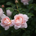 Photos: 花菜ガーデン【薔薇:クィーン・オブ・スウェーデン】