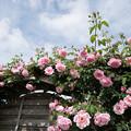 Photos: 花菜ガーデン【薔薇:スパニッシュビューティ】