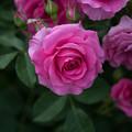 Photos: 花菜ガーデン【薔薇:つる・うらら】