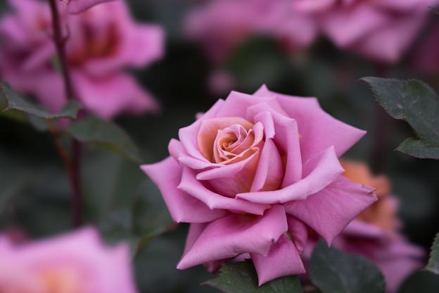 YEG【薔薇:禅】2